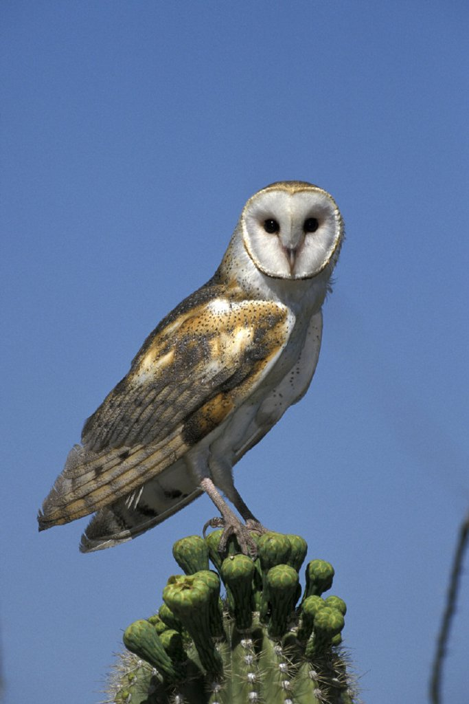 Stock Photo: 4133-17249 Barn Owl , Tyto alba , Sonora Desert , Arizona , USA , America