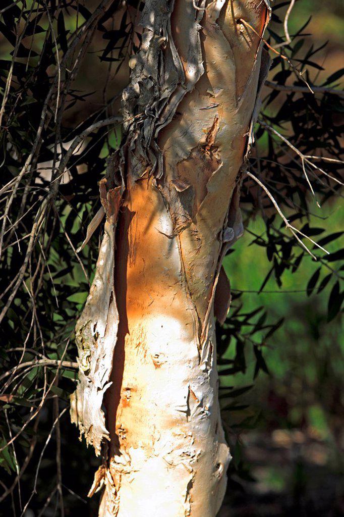 Stock Photo: 4133-17277 Paperbark Tree,Melaleuca,Australia