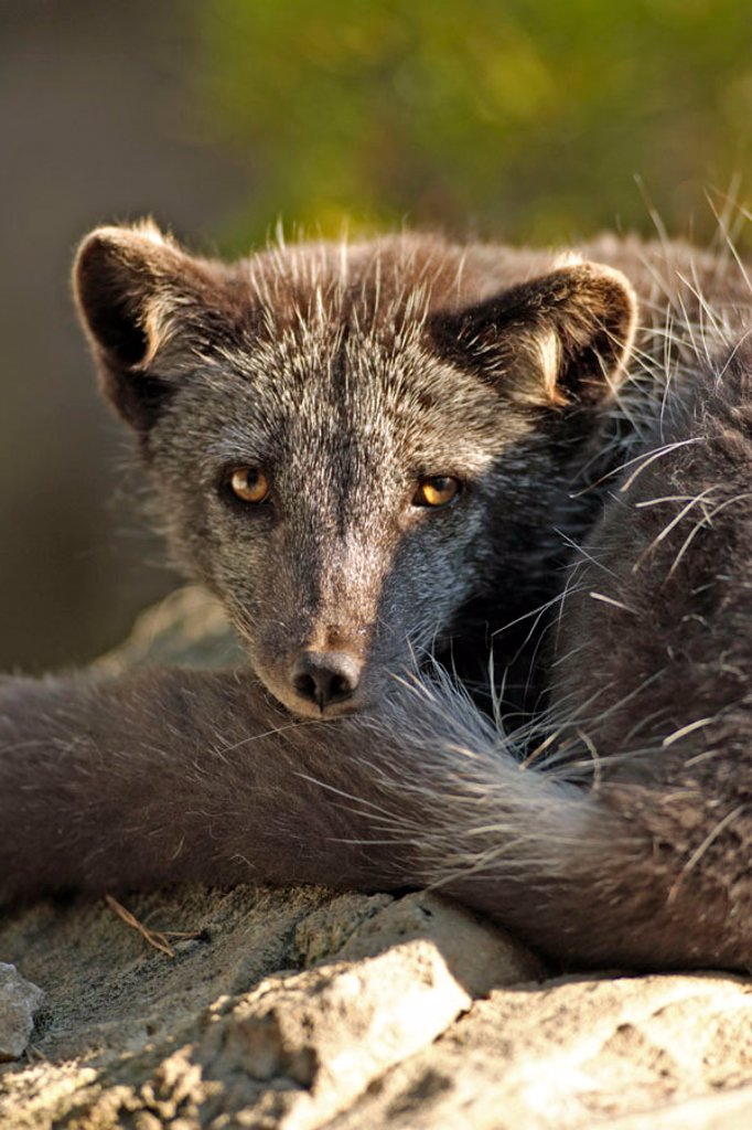 Arctic Fox Alopex lagopus USA : Stock Photo