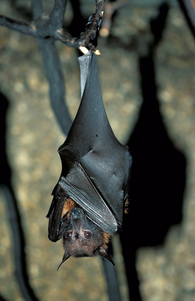 Indian Flying Fox,Pteropus giganteus,India,Asia : Stock Photo