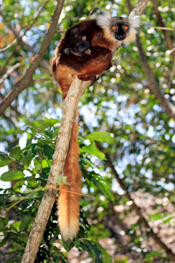Stock Photo: 4133-1765 Black Lemur, Lemur macaco, Nosy Komba, Madagascar