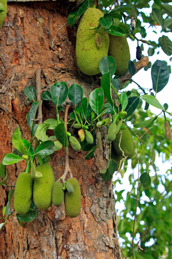 Jackfruit, Artocarpus heterophyllus, Nosy Be, Madagascar : Stock Photo