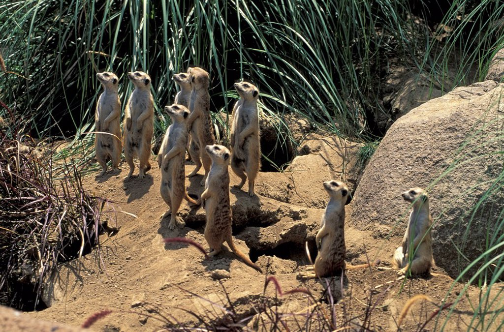 Suricate,Suricate suricatta,South Africa,Africa : Stock Photo