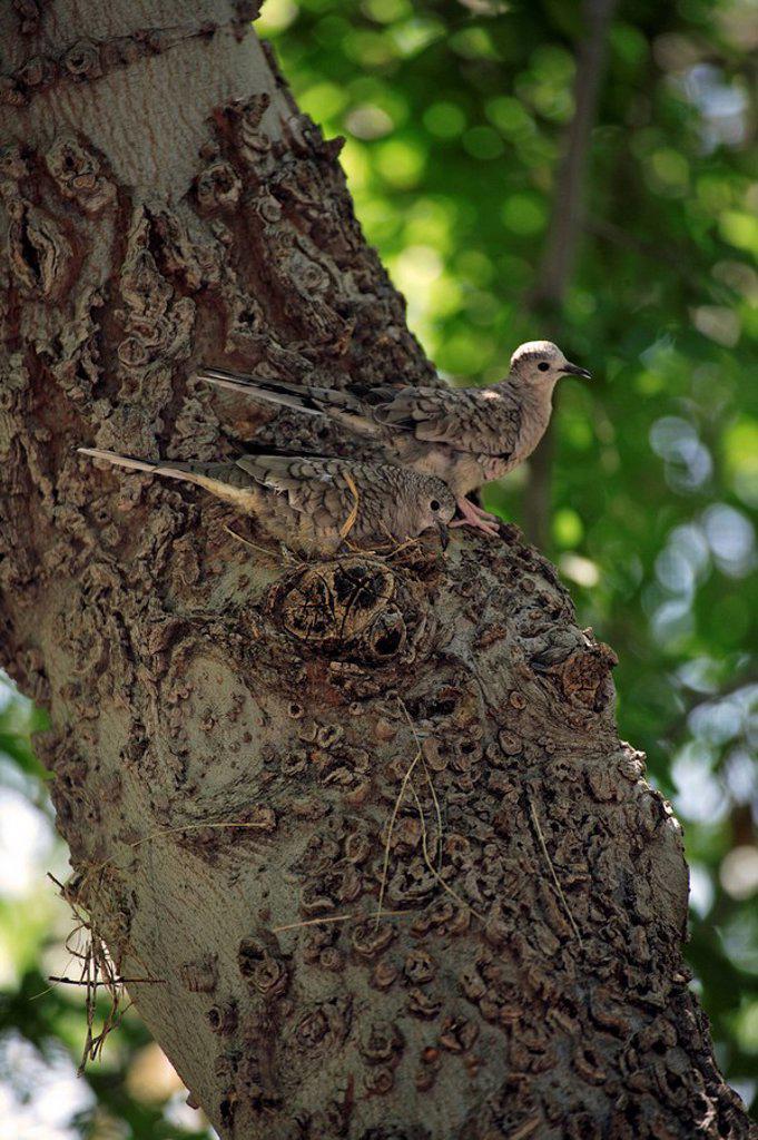 Inca Dove,Columbina inca,Sonora Desert,Arizona,USA : Stock Photo