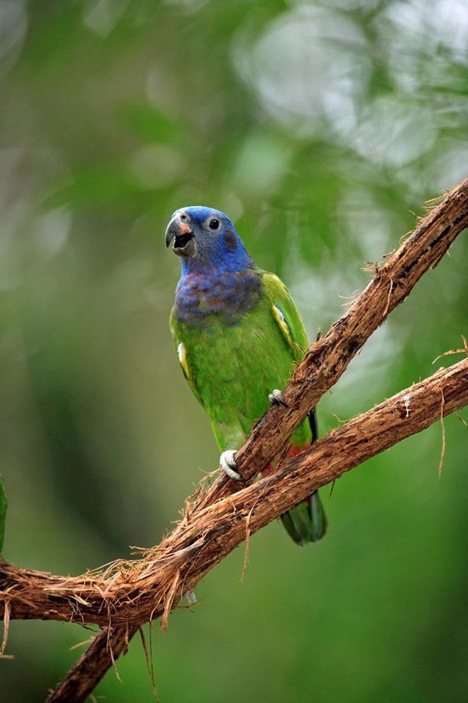 Blue-Headed Parrot,Pionus menstruus,Pantanal,Brazil : Stock Photo