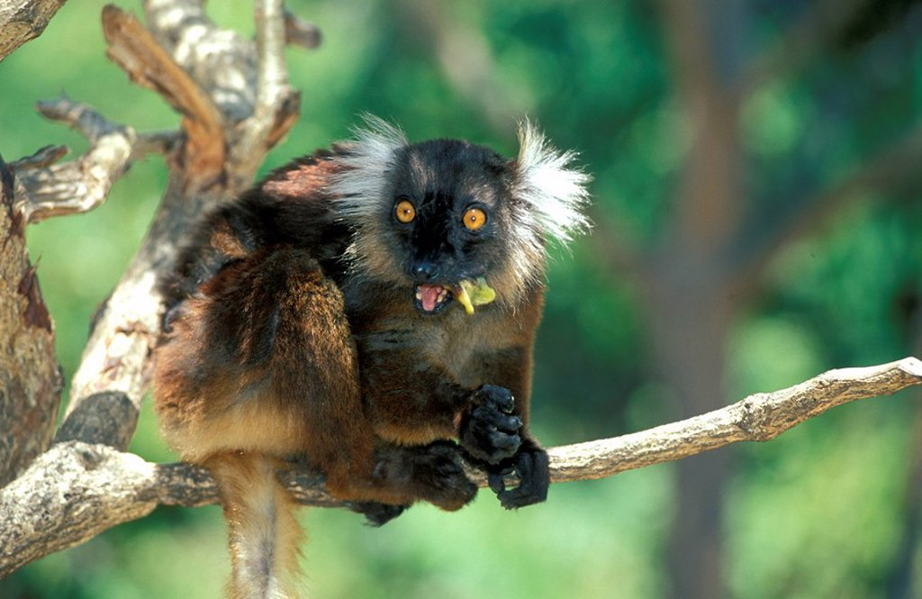 Stock Photo: 4133-17977 Black Lemur,Lemur macaco,Nosy Komba,Madagascar,Africa