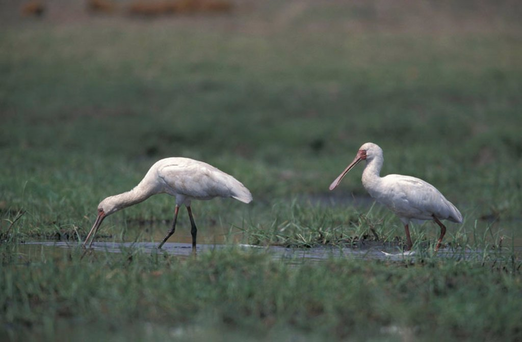 Stock Photo: 4133-17991 African Spoonbill, Platalea alba, Chobe Nationalpark, Botswana