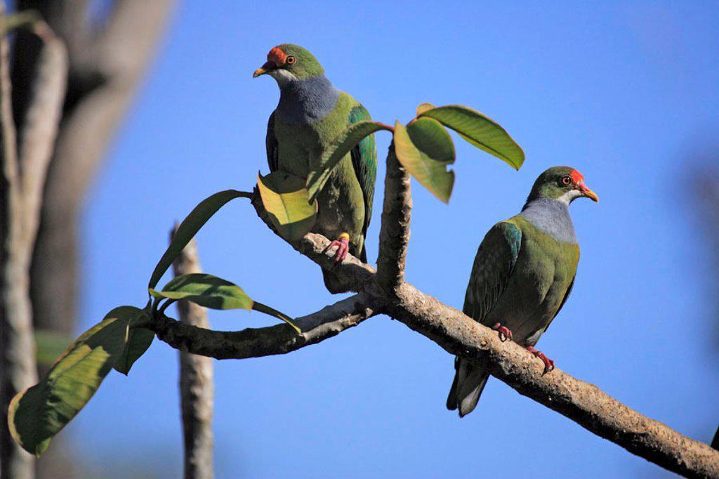 Stock Photo: 4133-18121 Orange Fronted Fruit Dove, Ptilinopus aurantiifrons, New Guinea