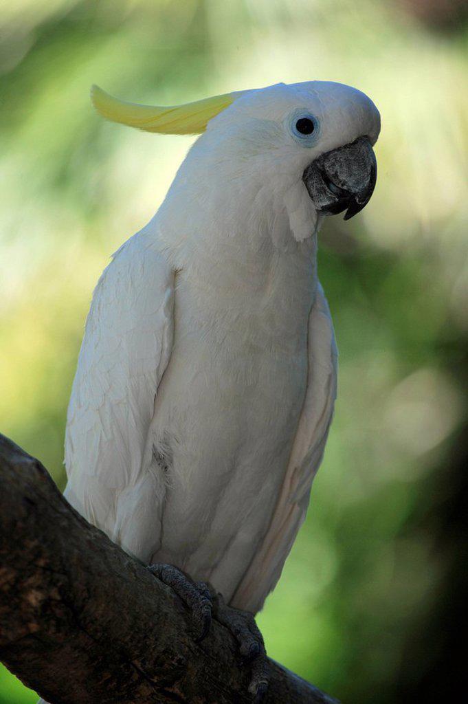 Sulfur crested Cockatoo,Cacatua galeriata,Australia : Stock Photo