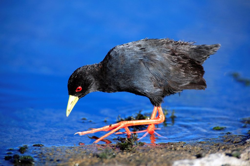 African Black Crake,Amaurornis flavirostris,Kruger National Park,South Africa : Stock Photo
