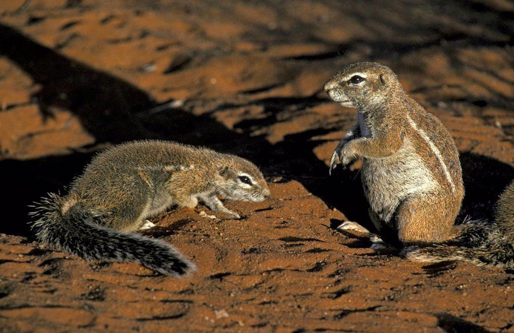 Stock Photo: 4133-18165 Ground Squirrel,Xerus inaurus,Kalahari Kgalagadi Transfrontier Park,South Africa,Africa