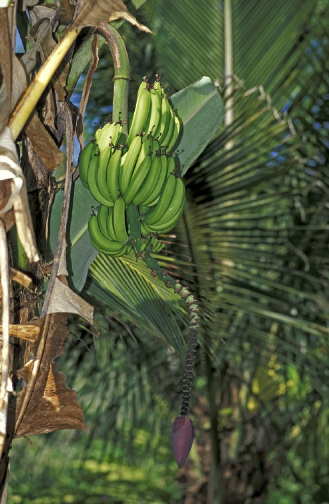 Stock Photo: 4133-18254 Banana Plant , Musa sapientum , Trinidad Caribbean
