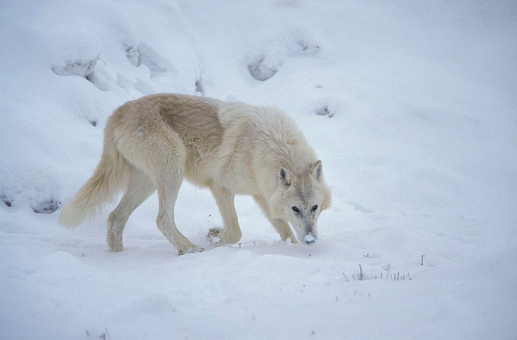 Grey Wolf White Wolf Canis lupus tundrorum Montana USA : Stock Photo