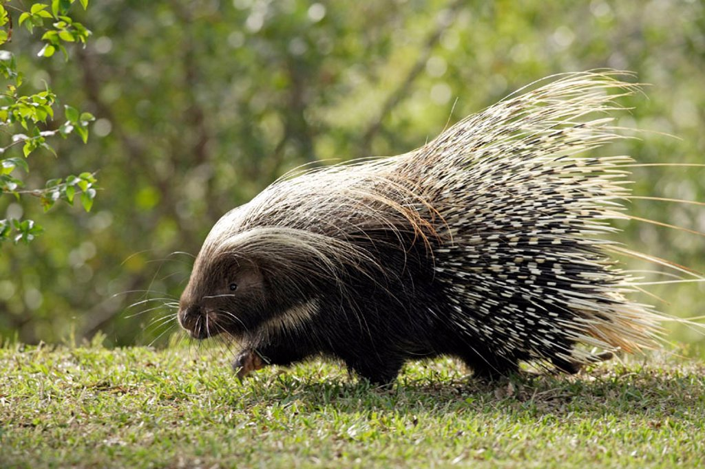 Cape Porcupine, Hystrix africaeaustralis, Southern Africa : Stock Photo