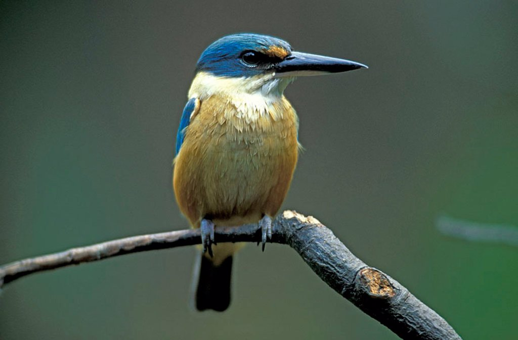Stock Photo: 4133-18613 Sacred Kingfisher Todirhamphus sanctus Australia