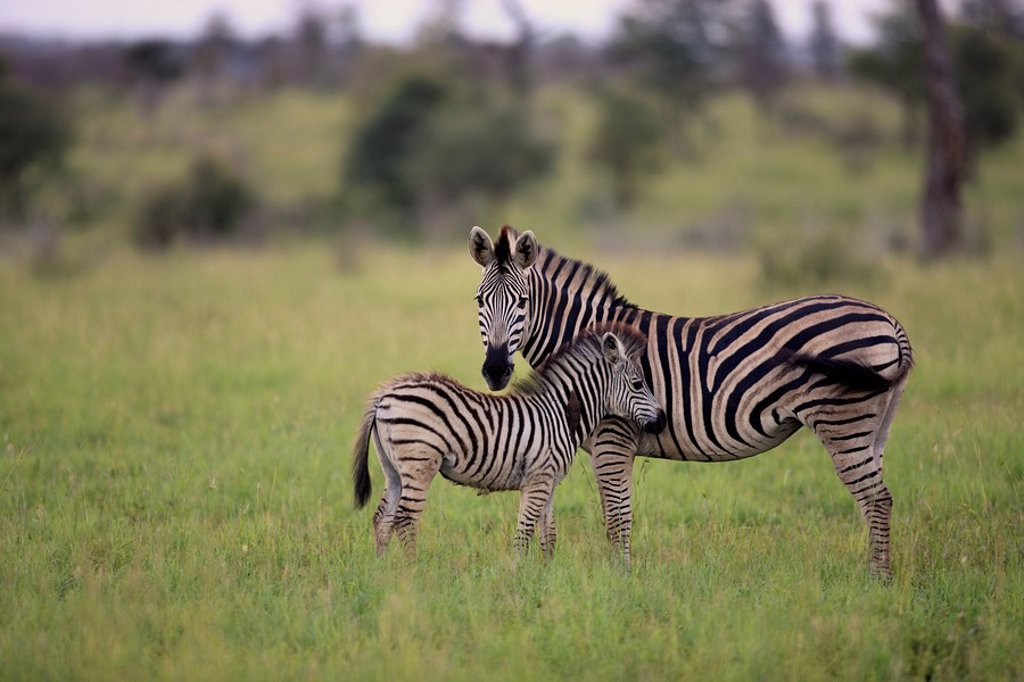 Stock Photo: 4133-18924 Plains Zebra,Burchell´s Zebra,Equus burchelli boehmi,Kruger Nationalpark,South Africa,Africa