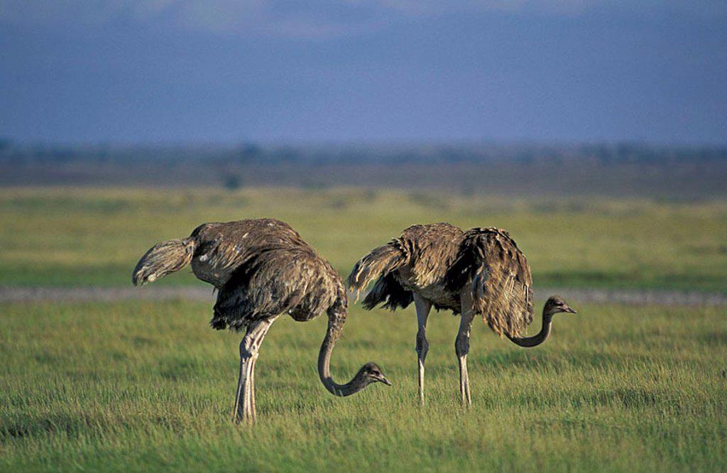 Stock Photo: 4133-1898 Masai Ostrich Struthio camelus massaicus Amboseli Nationalpark Kenya Africa