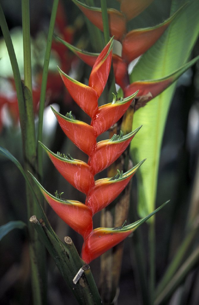 Stock Photo: 4133-19081 Heliconia , Heliconia caribaea purpurea , South America , America