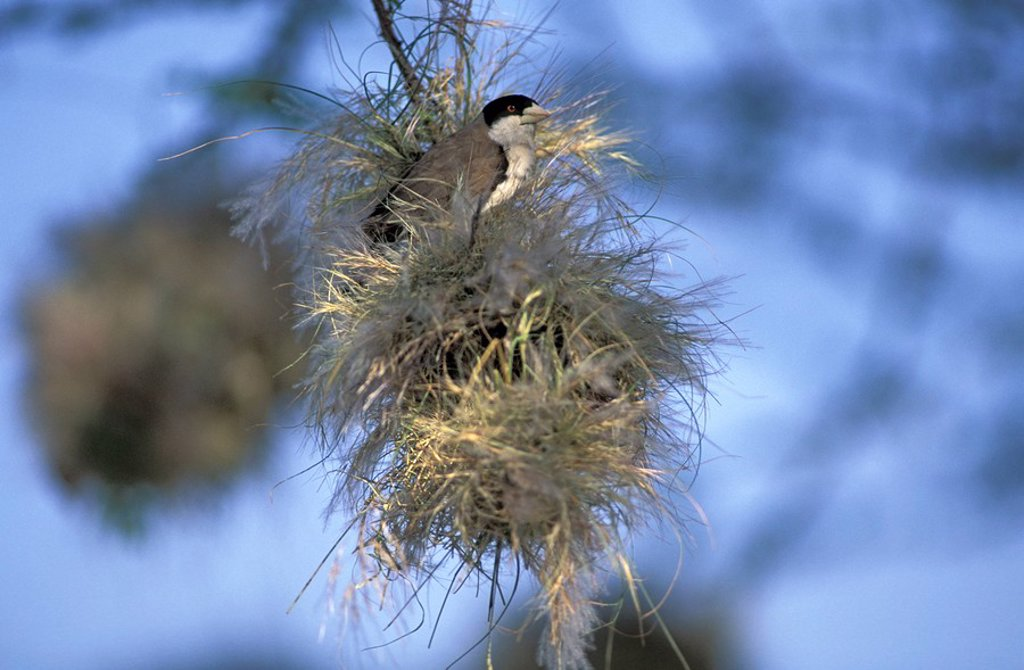 Stock Photo: 4133-19455 Black-Capped Social Weaver,Pseudonigrita cabanisi,Samburu Game Reserve,Kenya,Africa