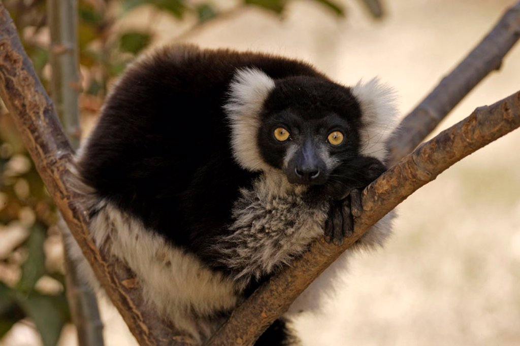 Stock Photo: 4133-19528 Black and White Ruffed Lemur, Lemur variegatus variegatus, lemurs, animal, animals, mammal, mammals, primate, primates, Nature, outdoor, outdoors, wild, wildlife, zoology, Perinet , Andasibe, Madagascar