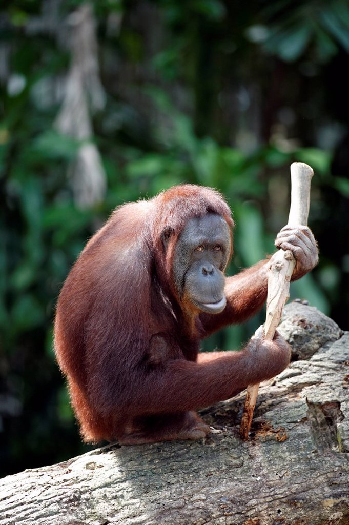 Orang Utan,Pongo pygmaeus,Asia : Stock Photo