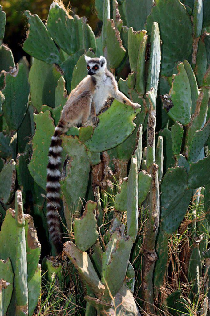 Stock Photo: 4133-19717 Ring Tailed Lemur, Lemur catta, Berenty Game Reserve, Madagascar