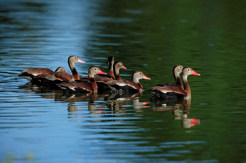 Stock Photo: 4133-19762 Black-Bellied Whistling Duck,Dendrocygna autumnalis,Pantanal,Brazil