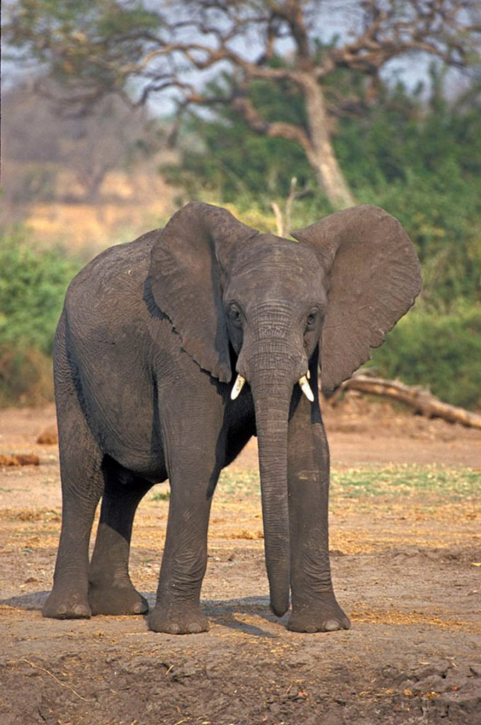 Stock Photo: 4133-19804 African Elephant Loxodonta africana Chobe Nationalpark Botswana Africa