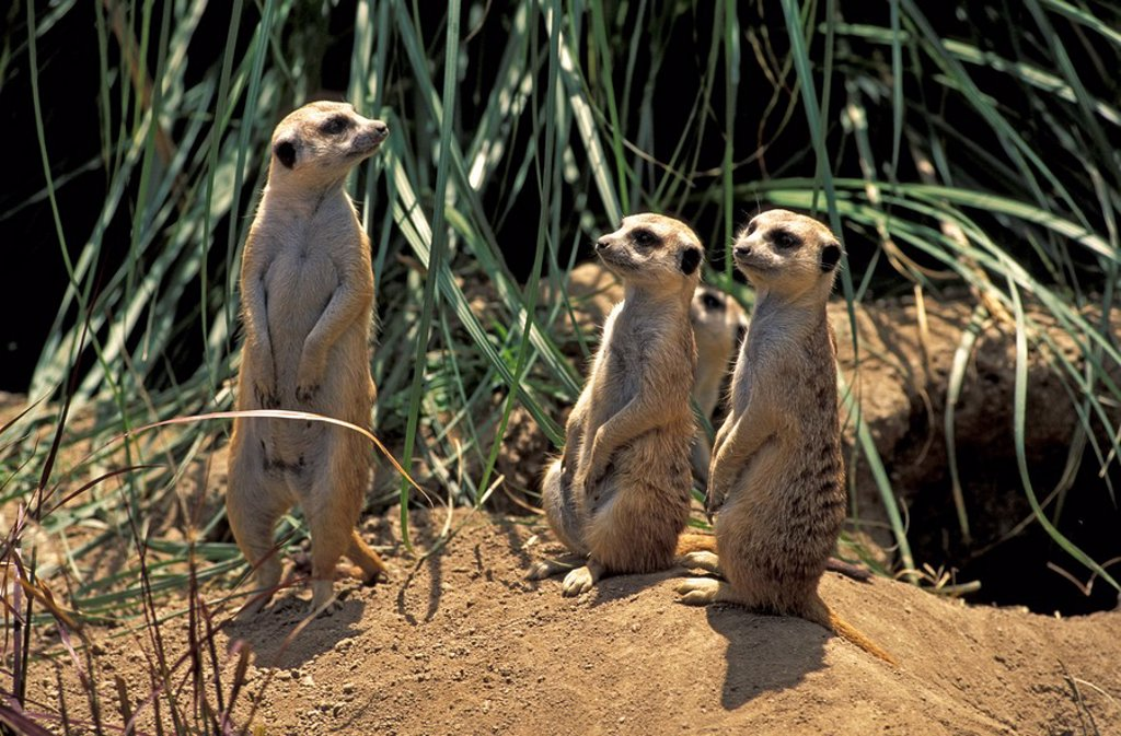 Stock Photo: 4133-19816 Suricate,Suricate suricatta,South Africa,Africa