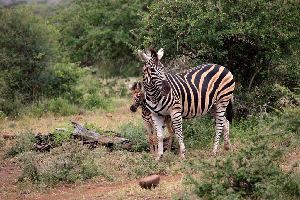 Stock Photo: 4133-19962 Plains Zebra,Burchell´s Zebra,Equus burchelli boehmi,Kruger Nationalpark,South Africa,Africa
