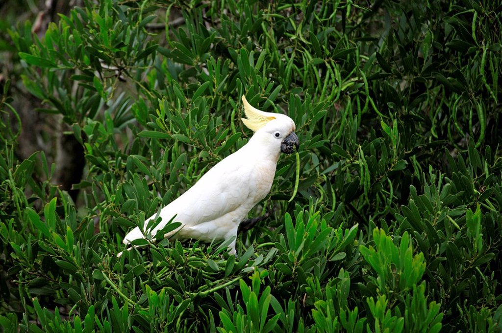 Sulfur crested Cockatoo,Cacatua galerita,Australia : Stock Photo