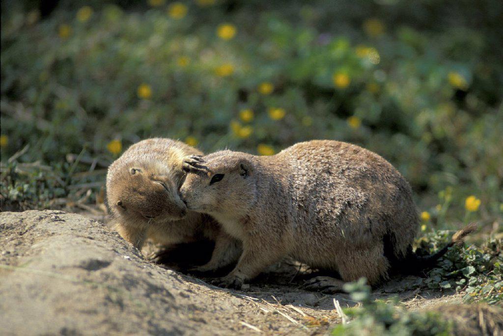 Stock Photo: 4133-20115 Black Tailed Prairie Dog , Cynomys ludovicianus , North America