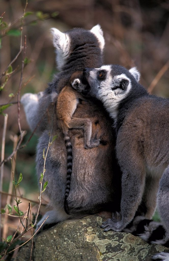 Stock Photo: 4133-20246 Ring-Tailed Lemur,Lemur catta,Madagascar,Africa