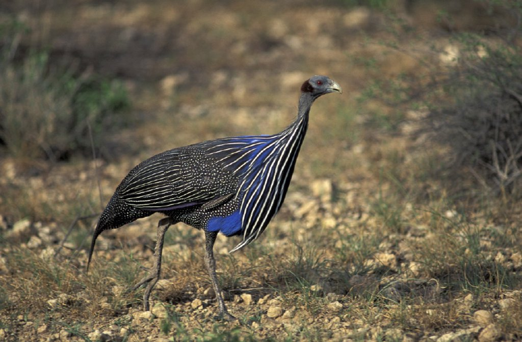 Vulturine Guinea Fowl , Acryllium vulturinum , Samburu Game Reserve , Kenya , Africa : Stock Photo