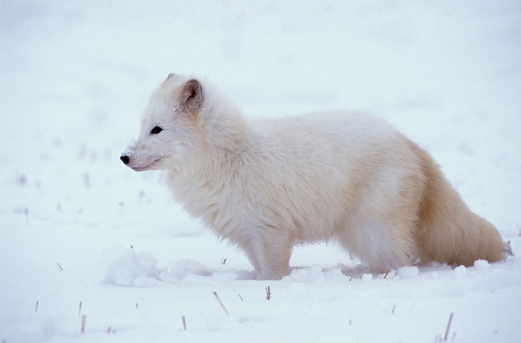 Stock Photo: 4133-20429 Arctic Fox,Alopex lagopus,Montana,USA