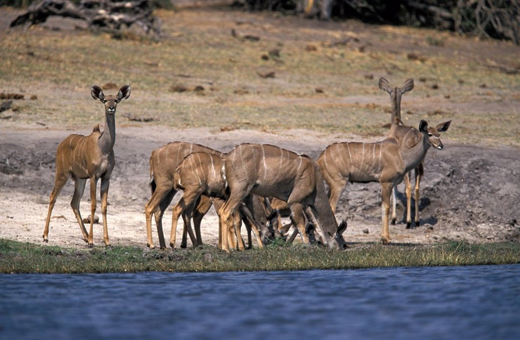 Greater Kudu,Tragelaphus strepsiceros,Chobe Nationalpark,Botswana,Africa : Stock Photo
