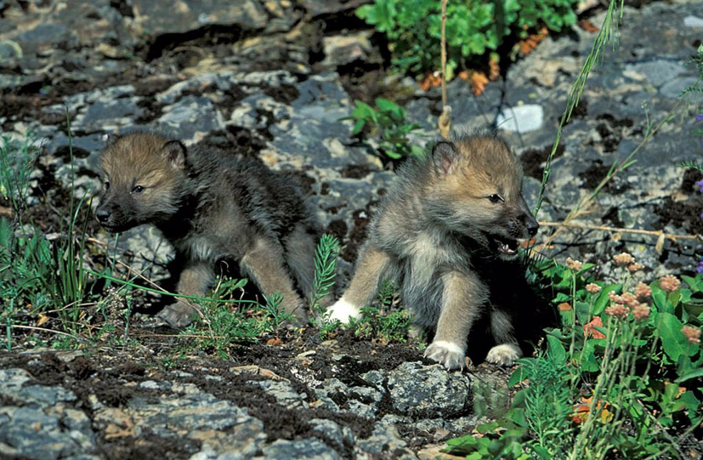 Stock Photo: 4133-2044 Grey Wolf White Wolf Canis lupus tundrorum Montana USA