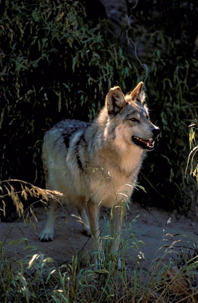Mexican Wolf,Lanis lupus baileyi,Sonora Desert,Arizona,USA : Stock Photo