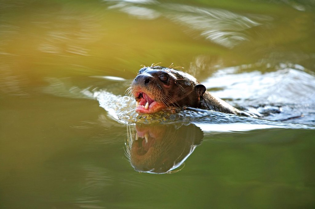 Giant River Otter,Pteronura brasiliensis,Pantanal,Brazil : Stock Photo