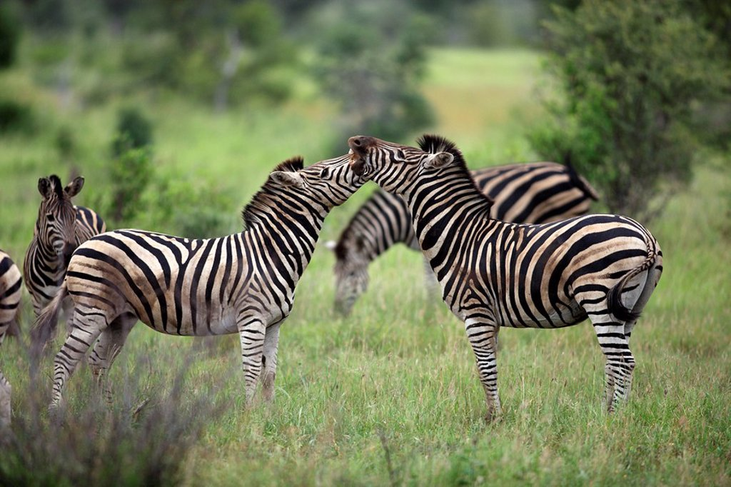 Stock Photo: 4133-20575 Plains Zebra,Burchell´s Zebra,Equus burchelli boehmi,Kruger Nationalpark,South Africa,Africa