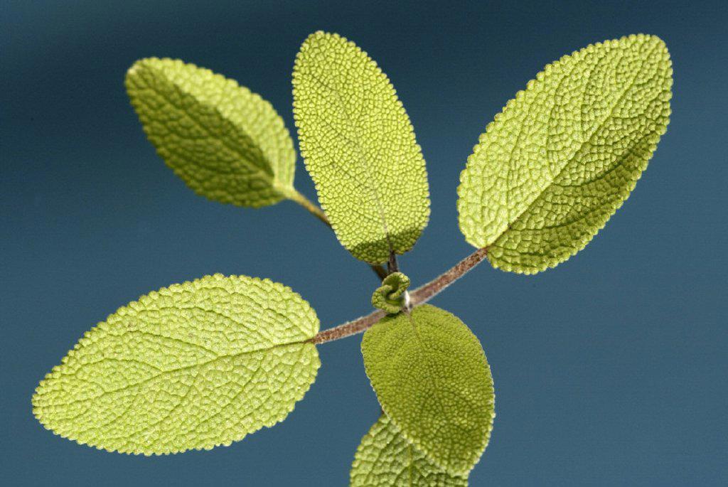 Stock Photo: 4133-20693 Sage Salvia nemorosa