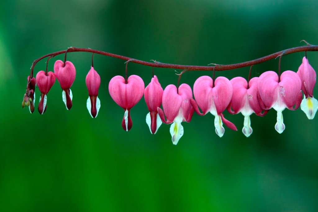 Bleeding heart Dicentra spectabilis Germany Europe : Stock Photo