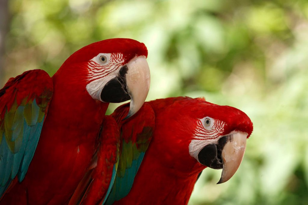 Stock Photo: 4133-21587 Red Blue and Green Macaw, Ara chloroptera, South America