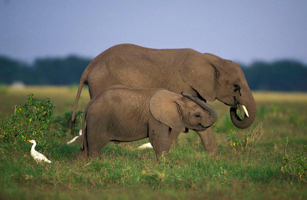 African Elephant Loxodonta africana Amboseli Nationalpark Kenya Africa : Stock Photo