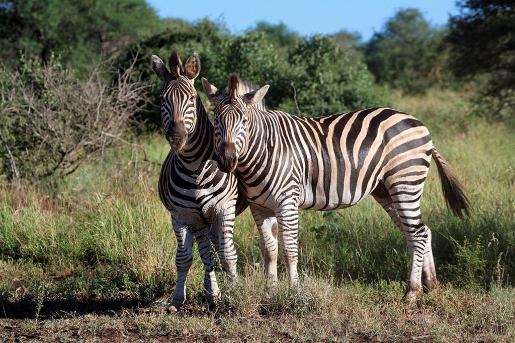 Plains Zebra,Burchell´s Zebra,Equus burchelli boehmi,Kruger Nationalpark,South Africa,Africa : Stock Photo