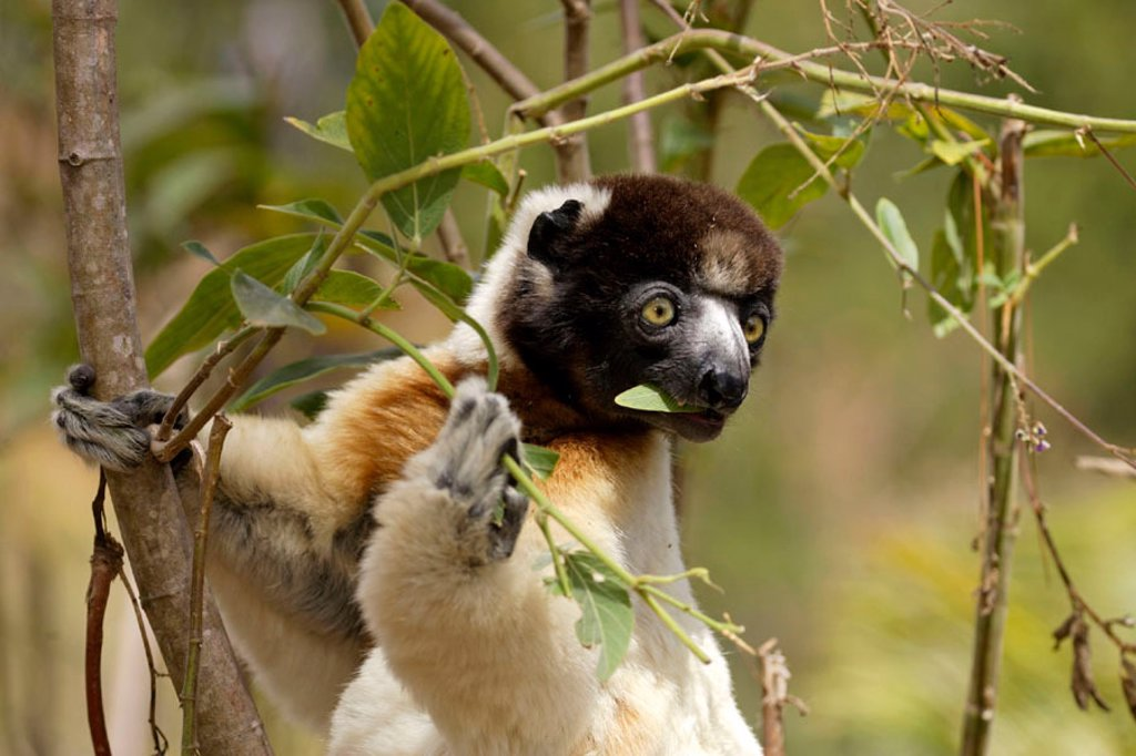 Stock Photo: 4133-2180 Verreaux`s Sifaka, Propithecus verreauxi coronatus, Madagascar