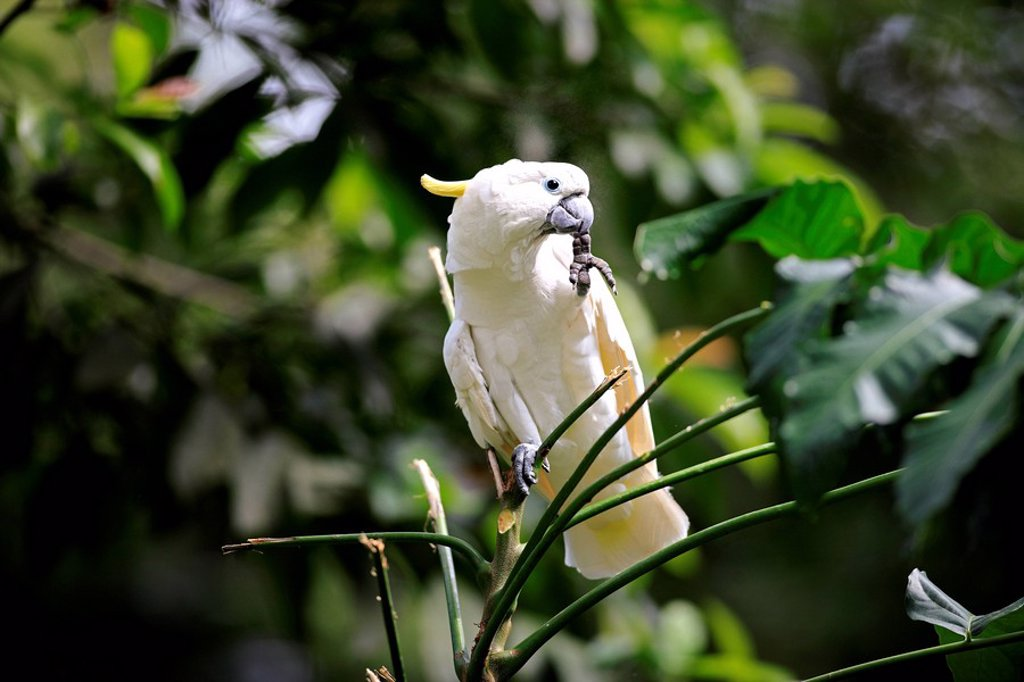 Stock Photo: 4133-21806 Sulfur crested Cockatoo,Cacatua galerita,Australia