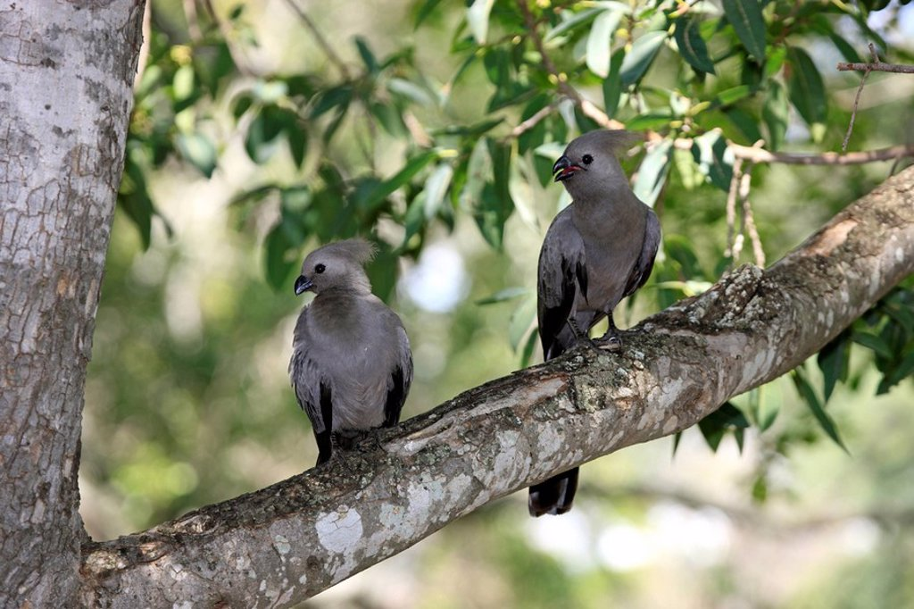 Stock Photo: 4133-21809 Grey Lourie,Corythaixoides concolor,Kruger Nationalpark,South Africa,Africa