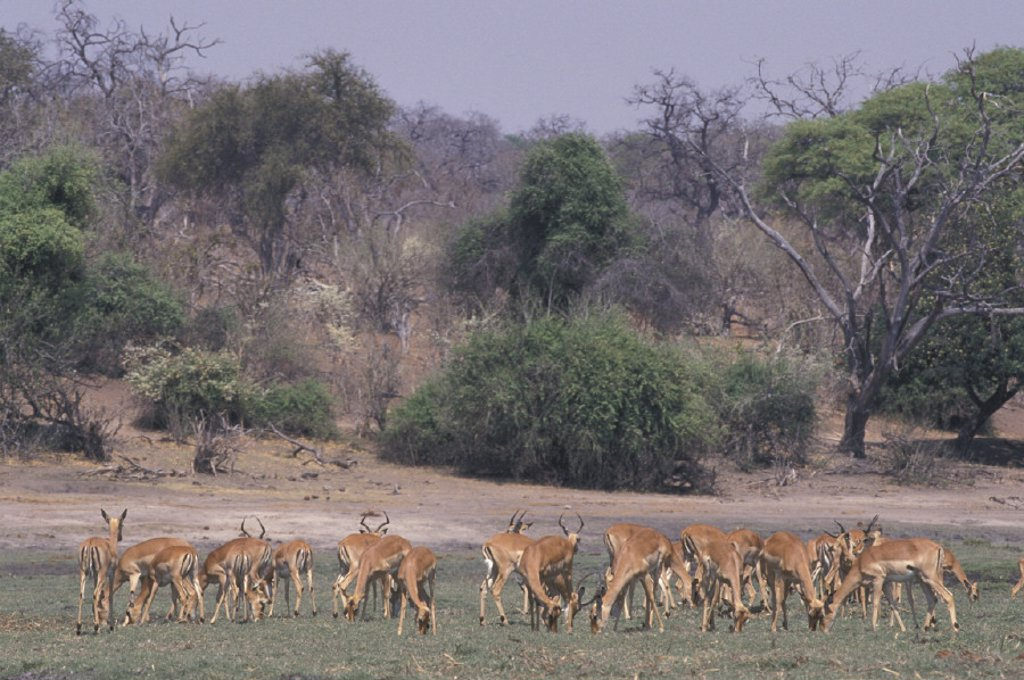 Stock Photo: 4133-21830 Impala , Aepyceros melampus , Chobe National Park , Botswana , Africa