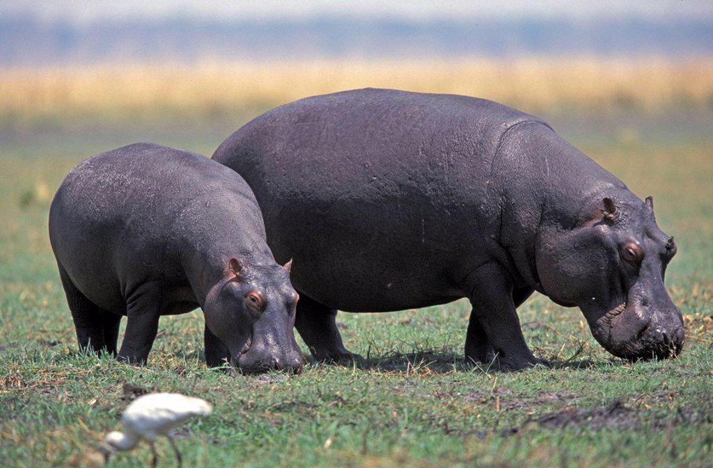 Hippopotamus,Hippopatamus amphibius,Chobe Nationalpark,Botswana,Africa : Stock Photo